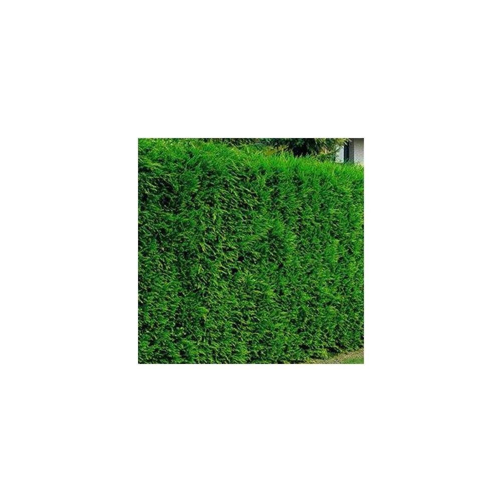 cypr s de leyland 2001 plantes et jardins. Black Bedroom Furniture Sets. Home Design Ideas