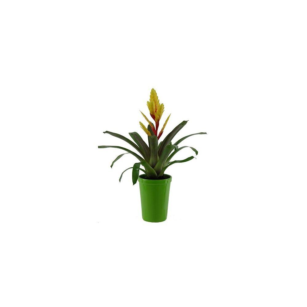 vriesea jaune cache pot vert plantes et jardins. Black Bedroom Furniture Sets. Home Design Ideas