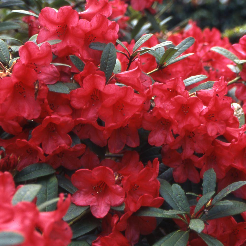 rhododendron nain 39 elisabeth 39 plantes et jardins. Black Bedroom Furniture Sets. Home Design Ideas
