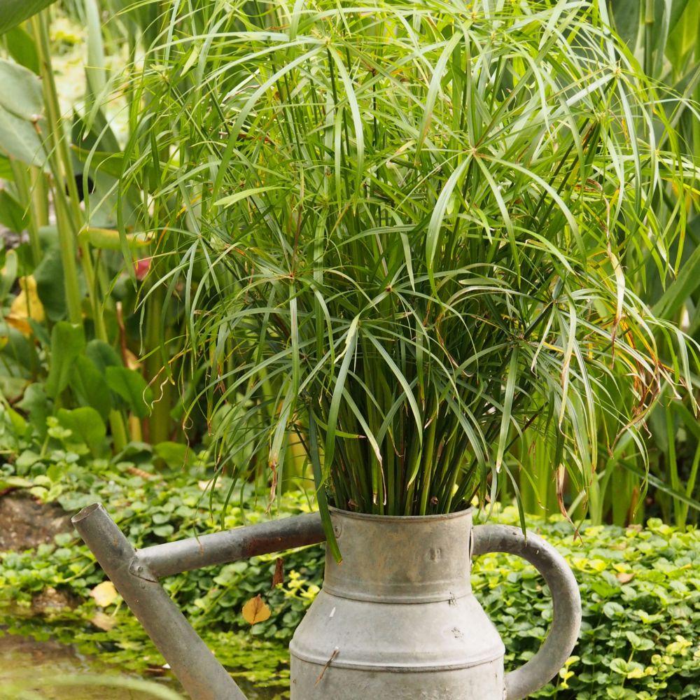 Cyperus alternifolius plantes et jardins for Plante et jardin catalogue