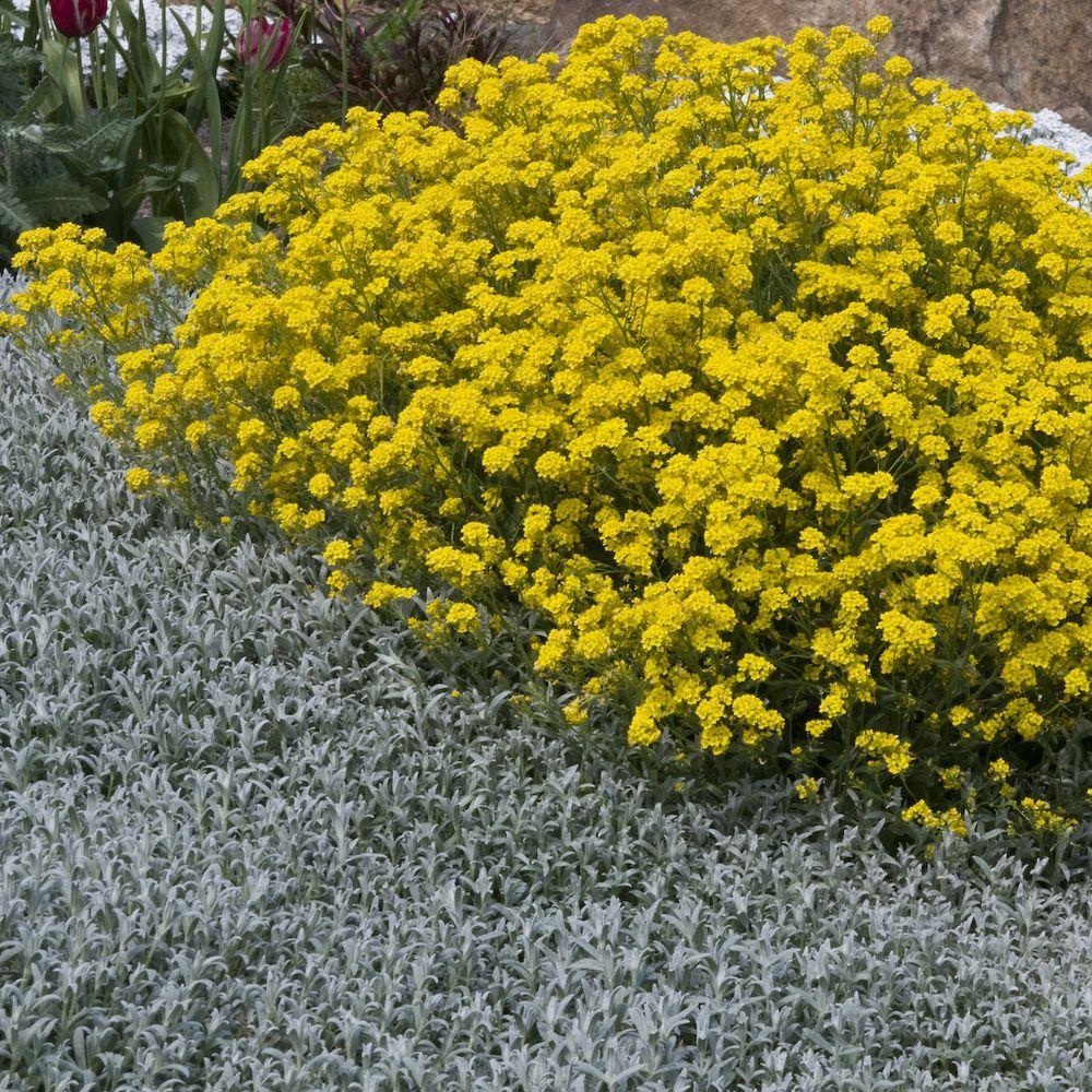 Alyssum saxatile plantes et jardins for Plante et jardins