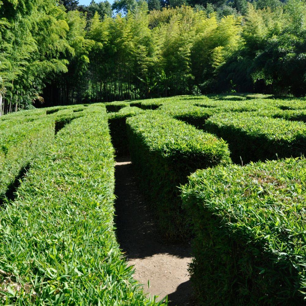 Petit bambou : Semiarundinaria makinoi (lot de 2) - Plantes et Jardins