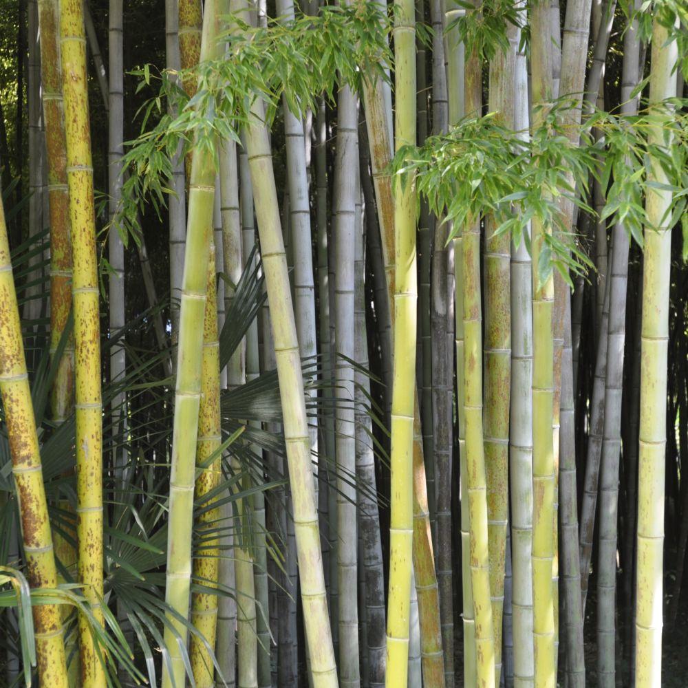 bambou g ant phyllostachys nigra 39 boryana 39 plantes et jardins. Black Bedroom Furniture Sets. Home Design Ideas