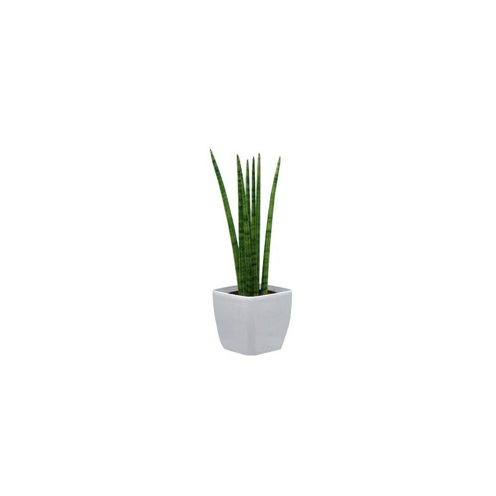 sansevi re cylindrica cache pot blanc plantes et jardins. Black Bedroom Furniture Sets. Home Design Ideas