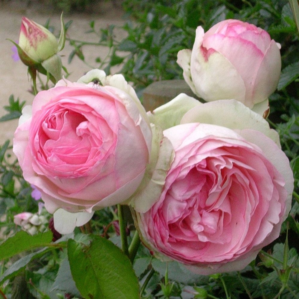 rosier grimpant 39 pierre de ronsard 39 plantes et jardins. Black Bedroom Furniture Sets. Home Design Ideas