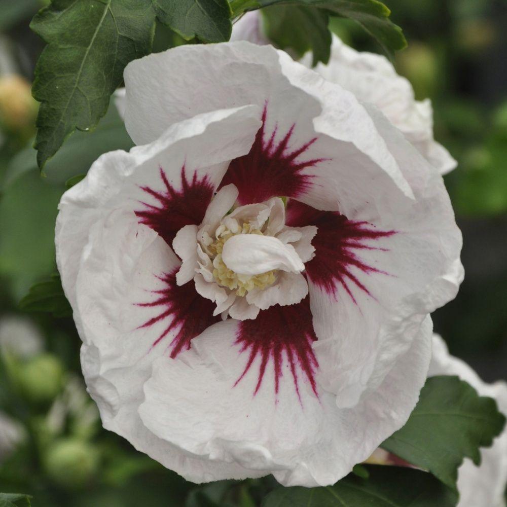 hibiscus syriacus 39 helene 39 plantes et jardins. Black Bedroom Furniture Sets. Home Design Ideas