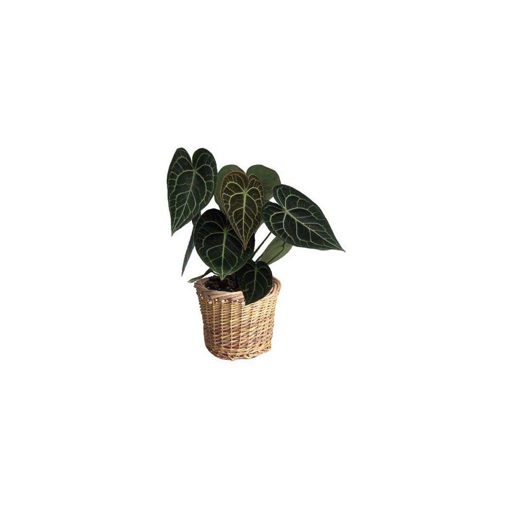 anthurium clarinervium cache pot tress plantes et jardins. Black Bedroom Furniture Sets. Home Design Ideas