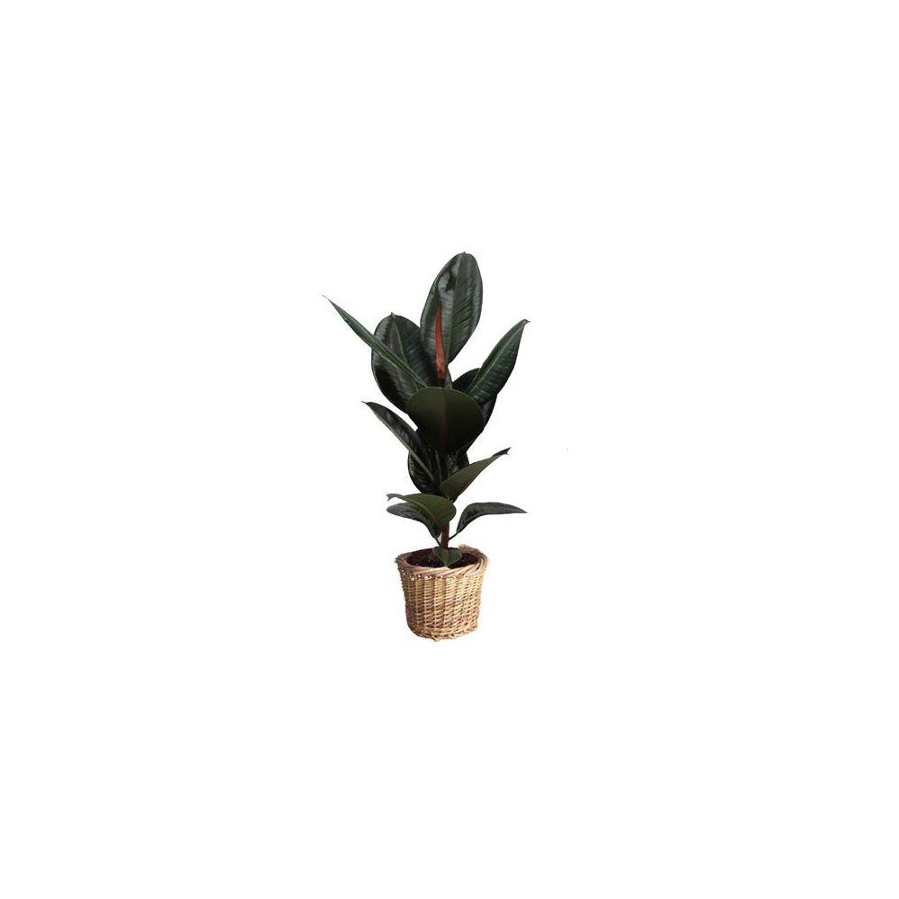 ficus caoutchouc cache pot tress plantes et jardins. Black Bedroom Furniture Sets. Home Design Ideas