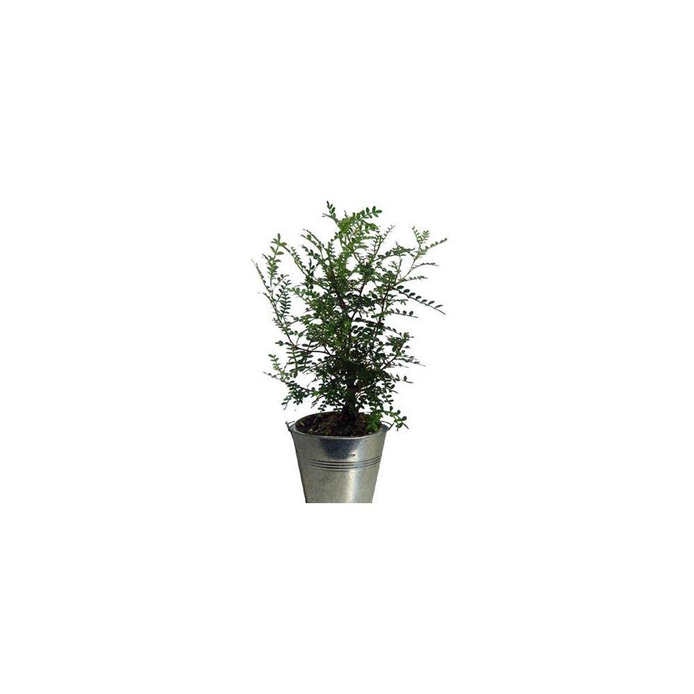 zanthoxylum faux poivrier cache pot zinc plantes et jardins. Black Bedroom Furniture Sets. Home Design Ideas