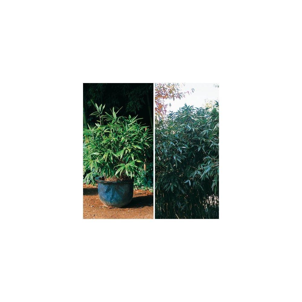 Petit bambou hibanobambusa tranquillans plantes et jardins for Plantes et jardins adresse