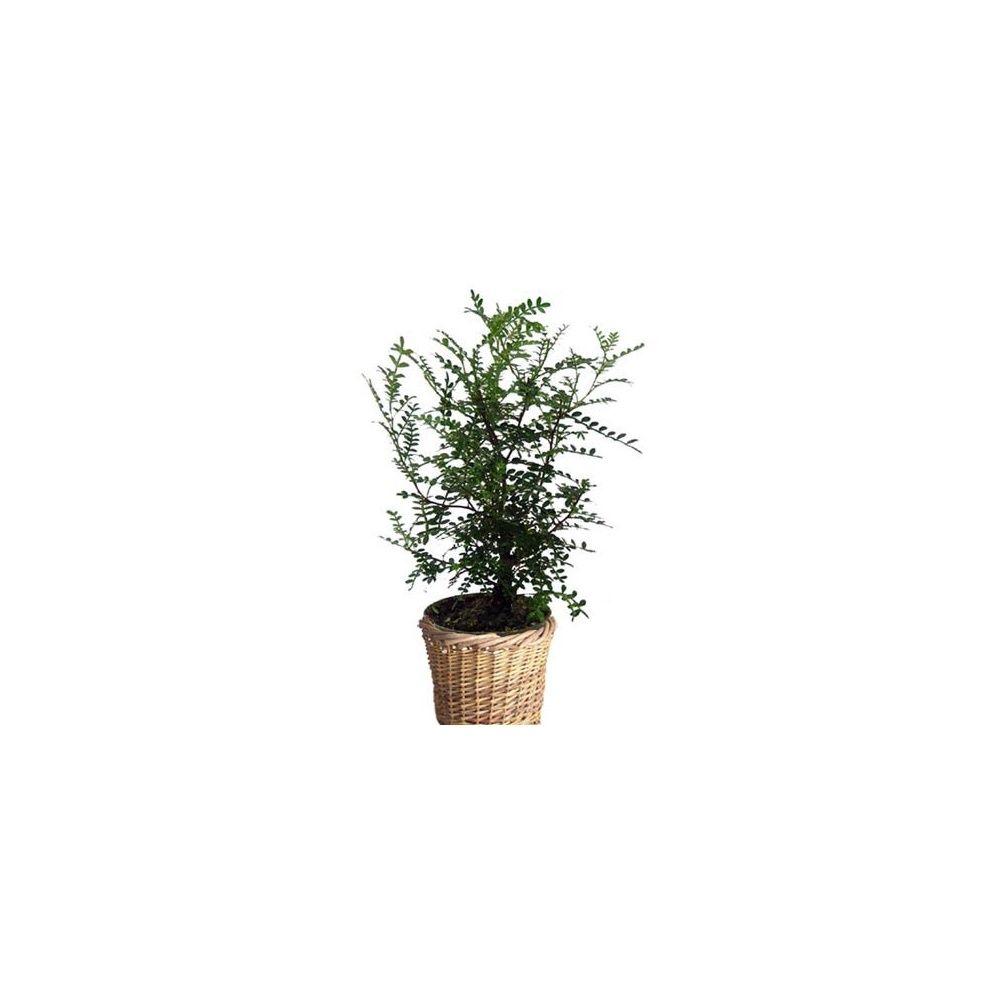 zanthoxylum faux poivrier cache pot tress plantes et jardins. Black Bedroom Furniture Sets. Home Design Ideas
