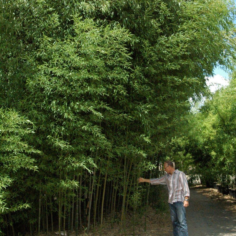 Bambou moyen phyllostachys nuda plantes et jardins for Bambou moyen phyllostachys bissetii