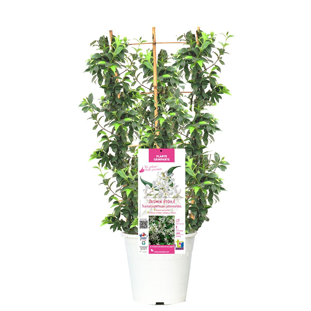 Jasmin persistant plantes et jardins for Plantes et jardins
