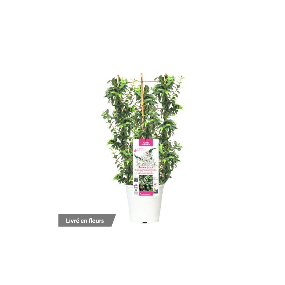Jasmin persistant - Plantes et Jardins