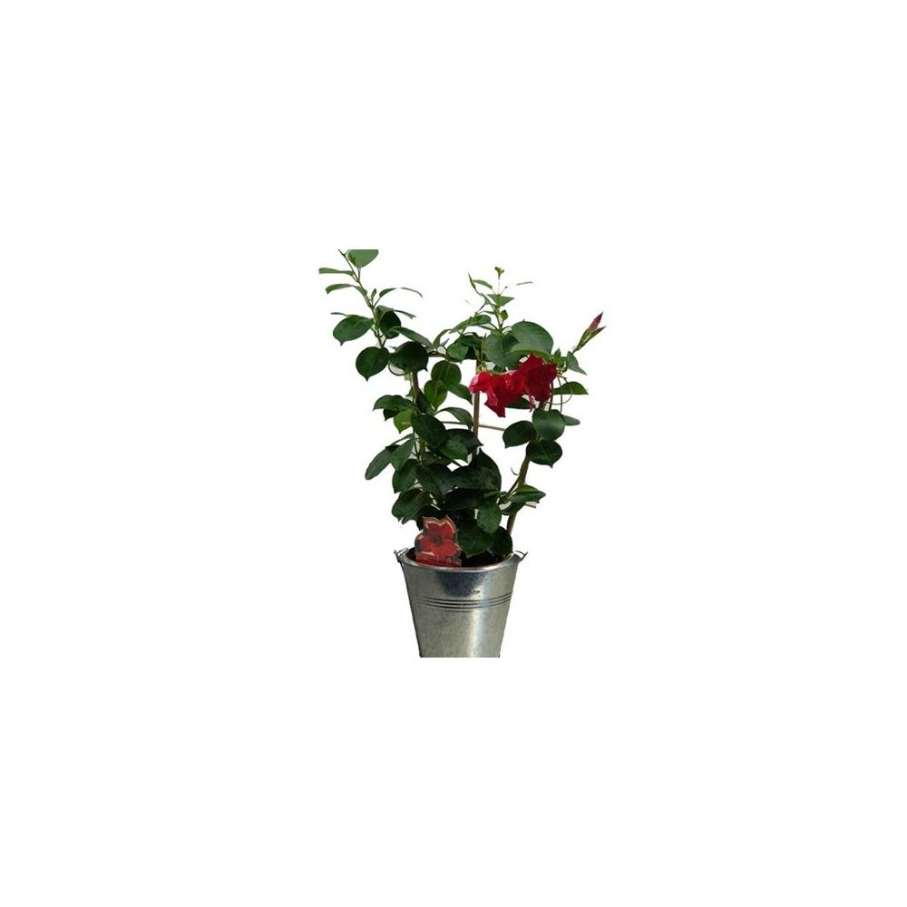 Dipladenia sandaville en espalier cache pot zinc plantes et jardins - Cache pot en zinc ...
