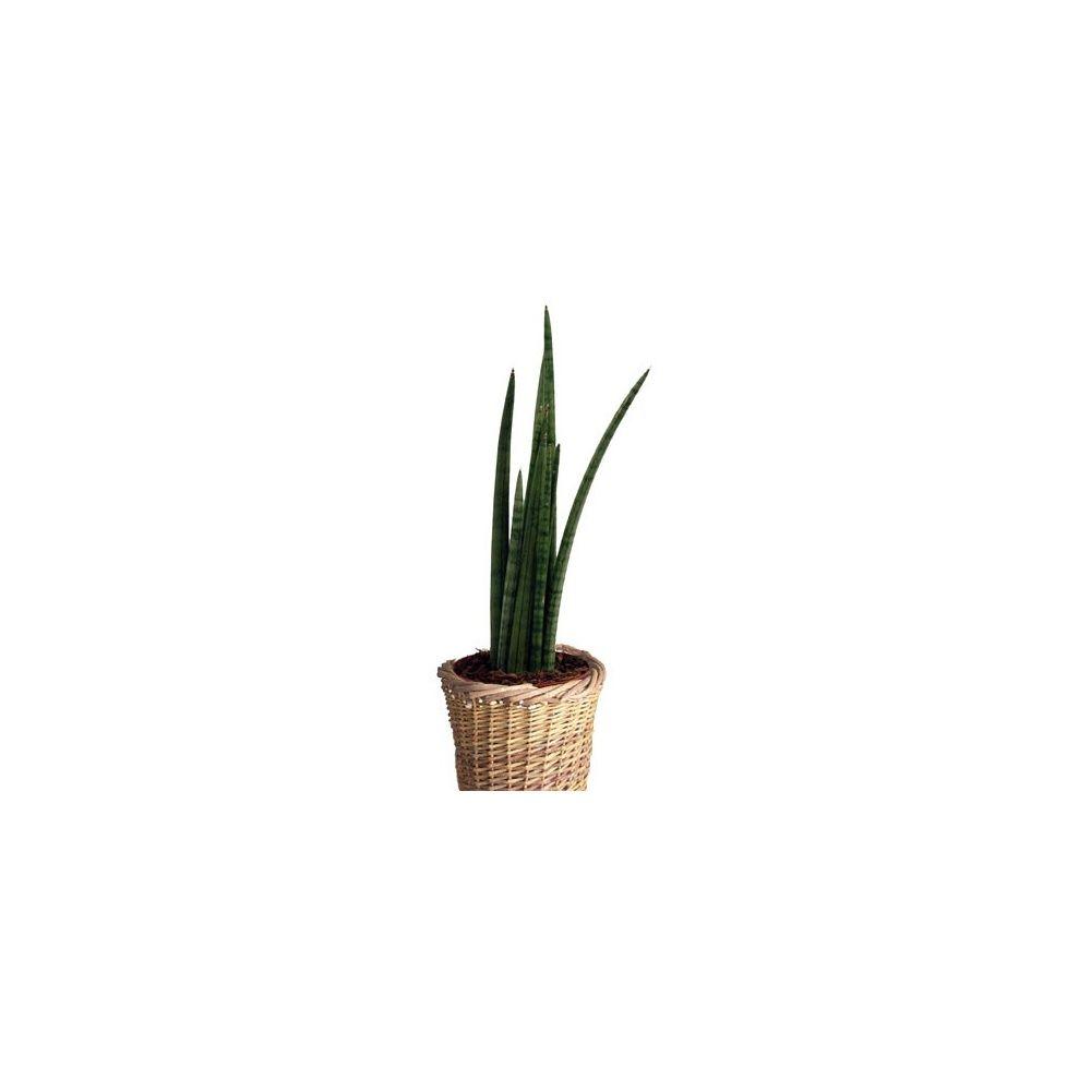 sansevi re spaghetti cache pot tress plantes et jardins. Black Bedroom Furniture Sets. Home Design Ideas