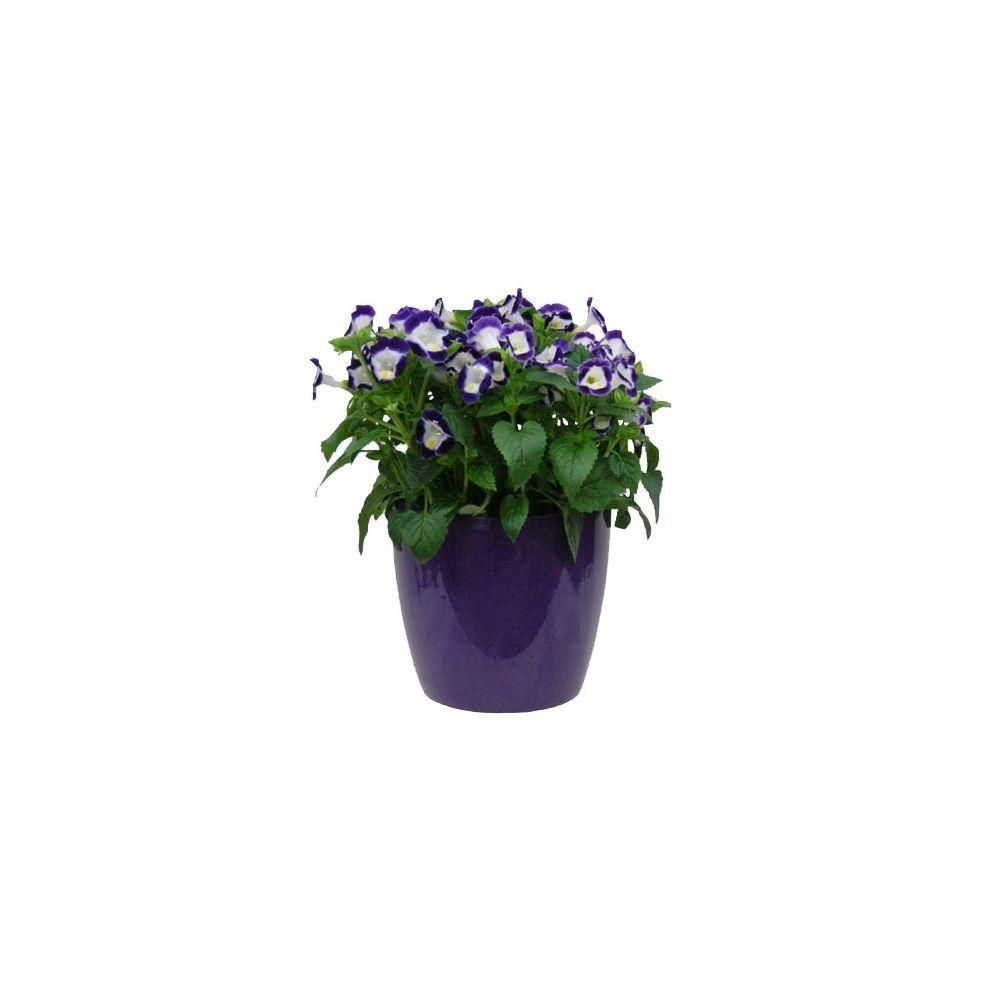 Torenia tristis mauve cache pot lavande plantes et jardins - Planter lavande en pot ...
