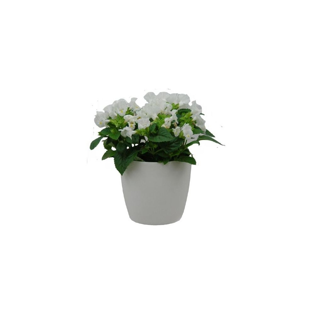 torenia tristis blanc cache pot blanc plantes et jardins. Black Bedroom Furniture Sets. Home Design Ideas