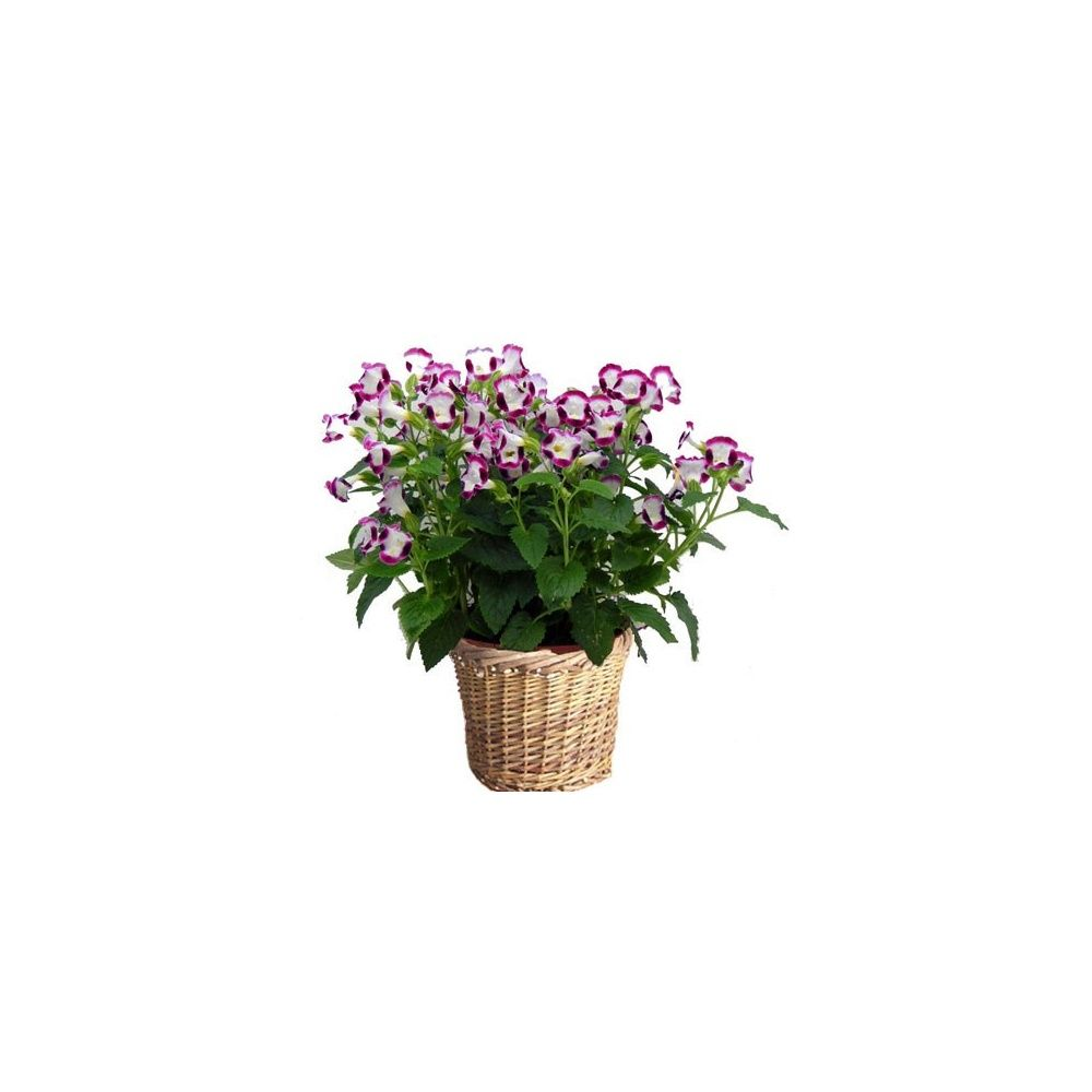 torenia tristis rose cache pot osier livraison express. Black Bedroom Furniture Sets. Home Design Ideas