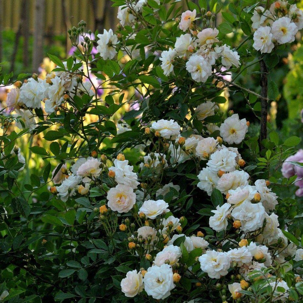 Rosier ancien grimpant 39 ghislaine de f ligonde 39 rosier guillot plantes et jardins - Bouturer un rosier ancien ...