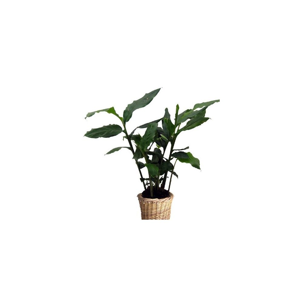 cardamome cache pot tress livraison express plantes et jardins. Black Bedroom Furniture Sets. Home Design Ideas