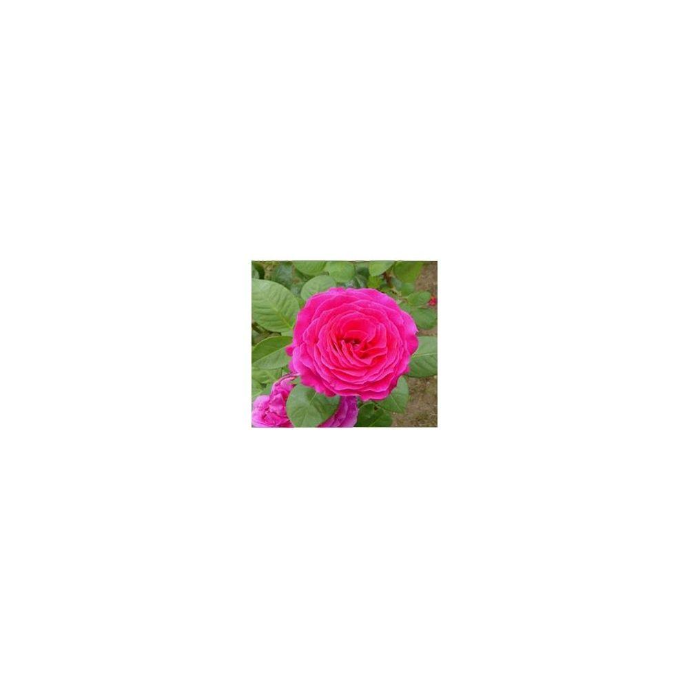 Rosier 39 nuit d orient 39 stebigpu plantes et jardins for Rosier princesse d orient