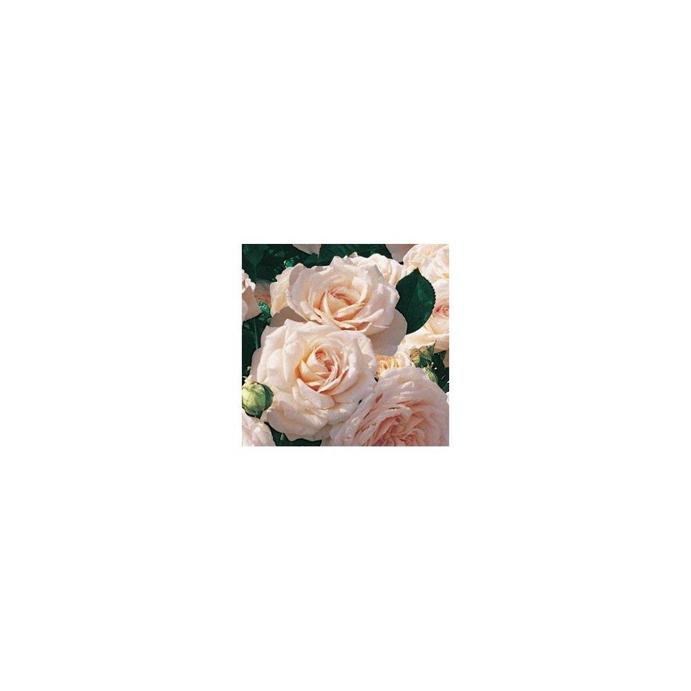 Rosier anglais 39 covent garden 39 harflax plantes et jardins for Planter en anglais