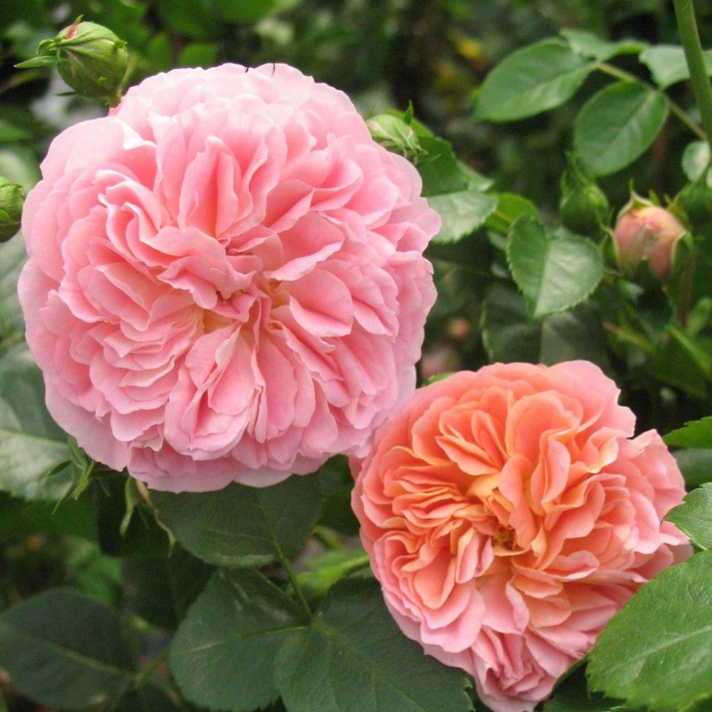 Rosier grimpant 39 pirouette 39 plantes et jardins - Planter un rosier grimpant ...