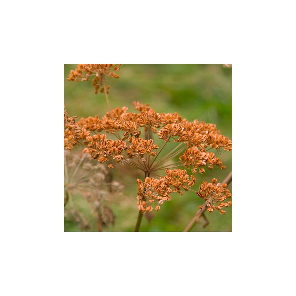 Fenouil bronze plantes et jardins for Plante et jardins