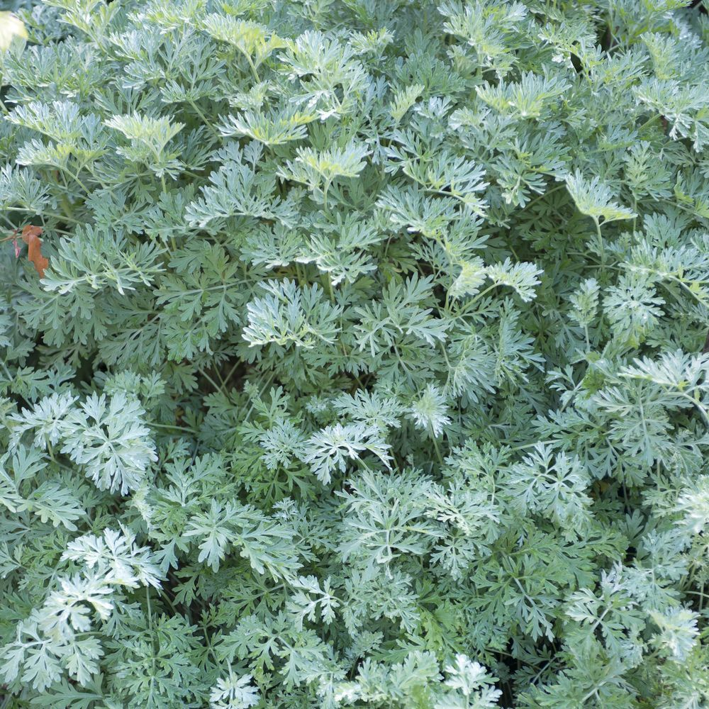Absinthe plantes et jardins for Plante jardin