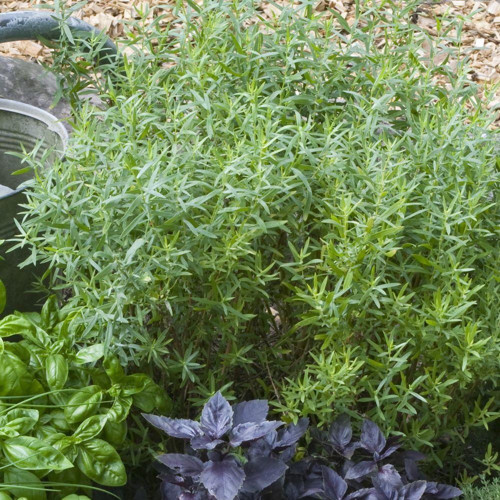 Estragon vivace plantes et jardins for Plantes et arbustes vivaces