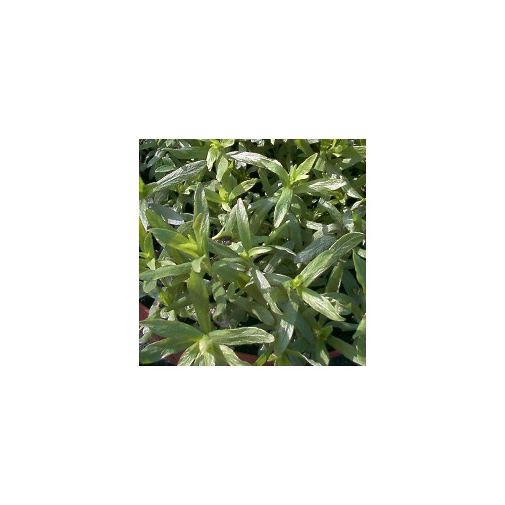 Estragon vivace plantes et jardins for Plante verte vivace