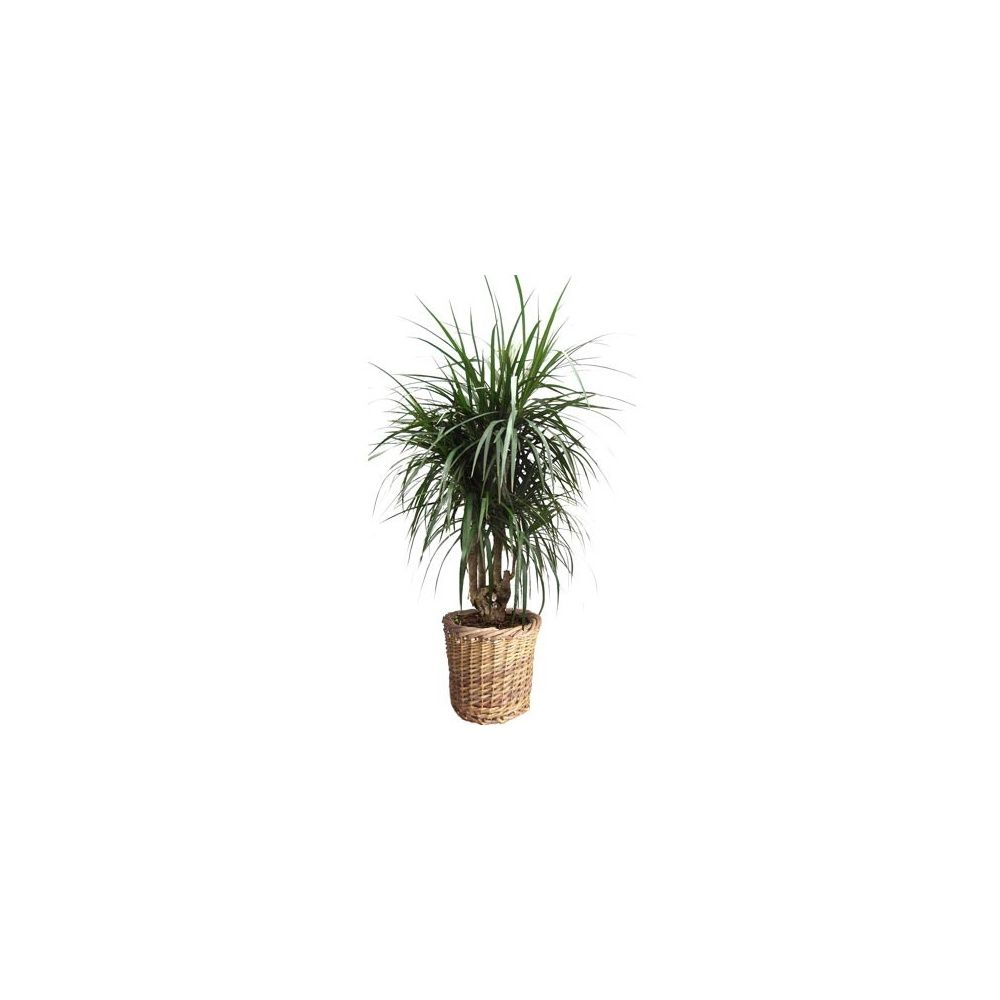 dracaena marginata ramifi avec cache pot tress plantes et jardins. Black Bedroom Furniture Sets. Home Design Ideas