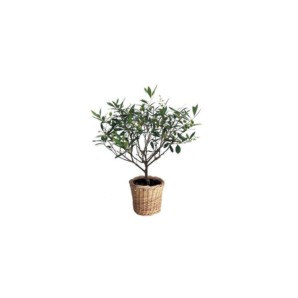 planter un olivier en pleine terre trendy arbres et arbustes planter le palmier chanvre with. Black Bedroom Furniture Sets. Home Design Ideas