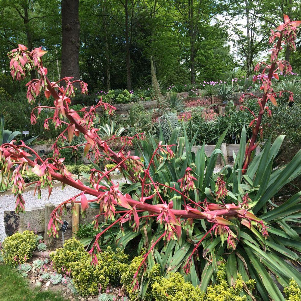 Beschorneria yuccoides plantes et jardins for Plantes et jardins