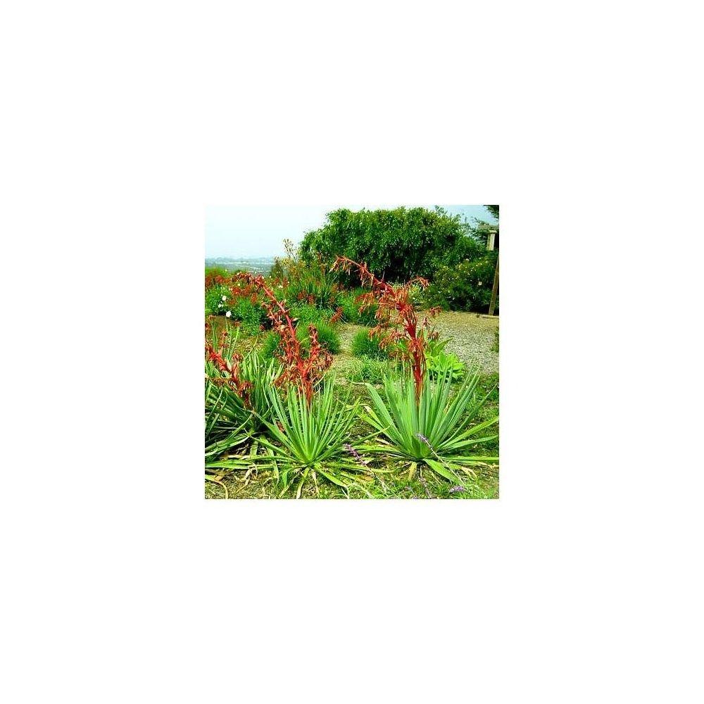 Beschorneria yuccoides plantes et jardins for Plante et jardins