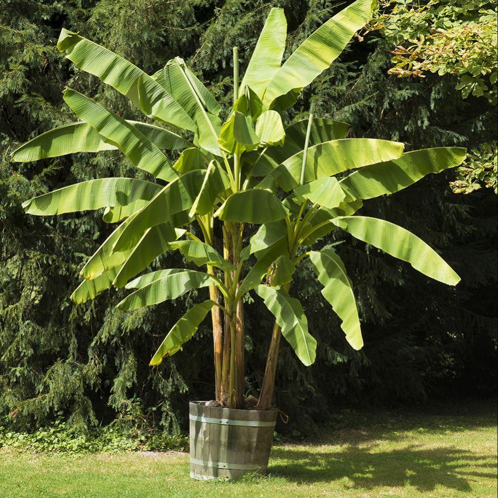 bananier rustique plantes et jardins