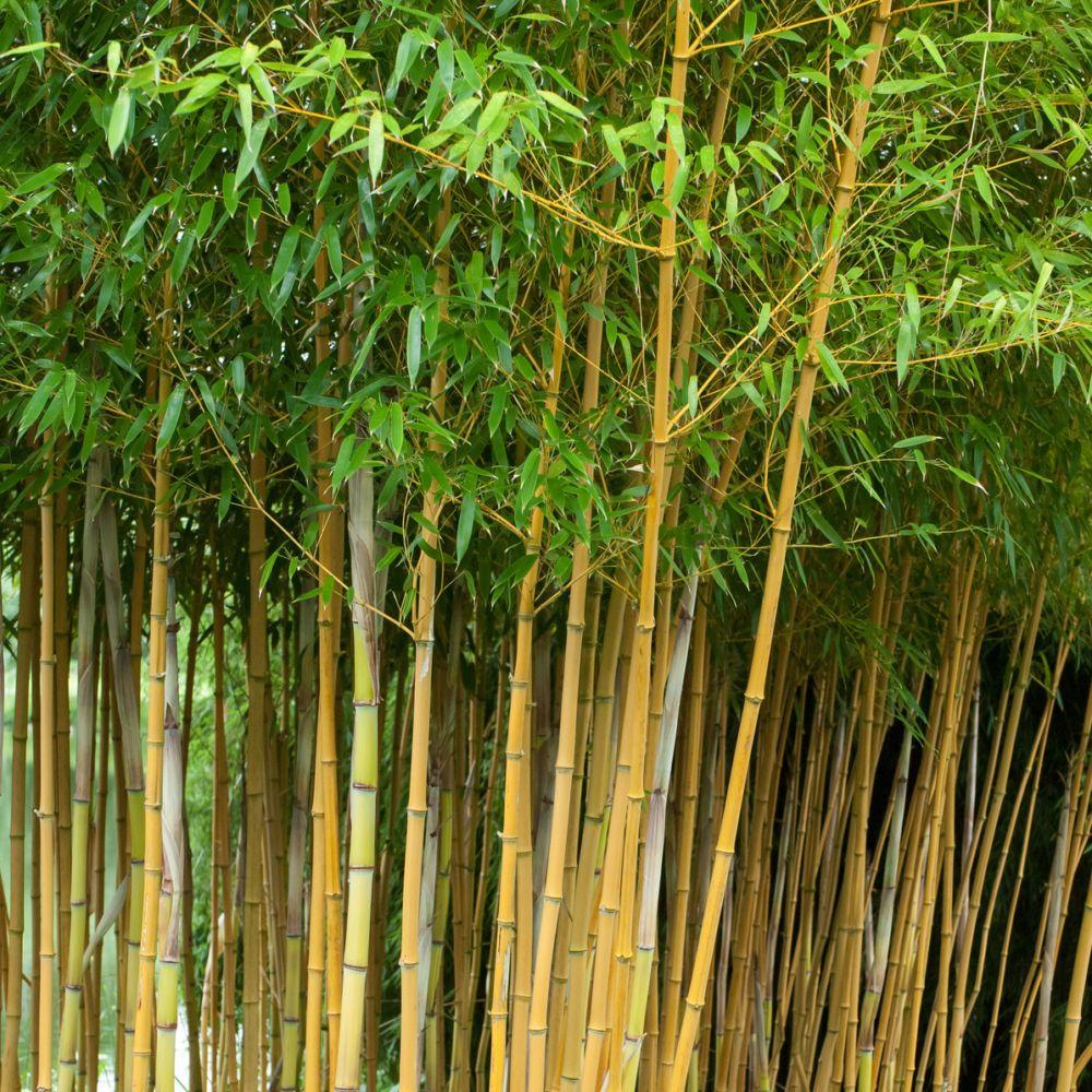 Bambou moyen phyllostachys aureosulcata 39 aureocaulis - Table de jardin babou ...