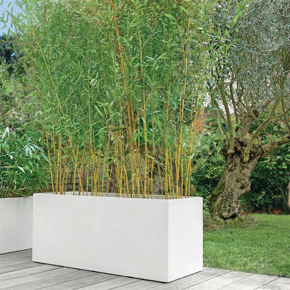bambou moyen phyllostachys aureosulcata 39 aureocaulis 39 plantes et jardins. Black Bedroom Furniture Sets. Home Design Ideas