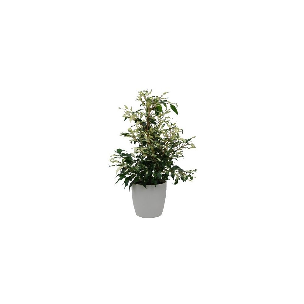 ficus 39 curly 39 cache pot blanc plantes et jardins. Black Bedroom Furniture Sets. Home Design Ideas