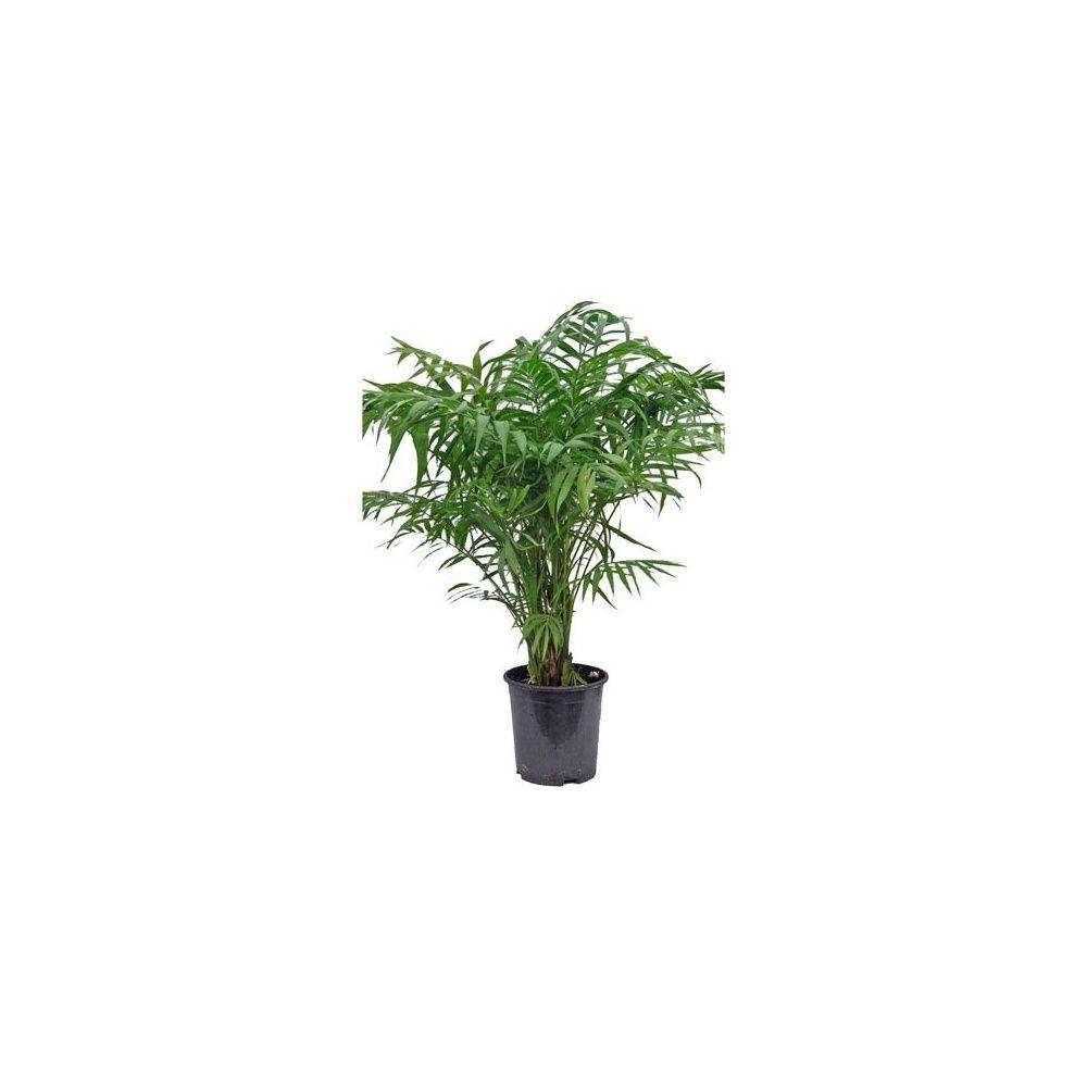 Chamaedora (palmier nain) - Plantes et Jardins