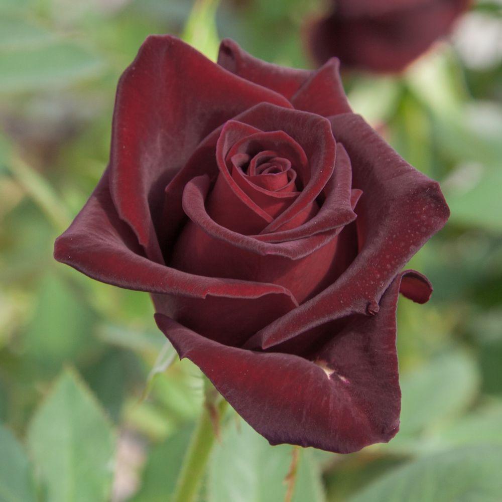 rosier 39 black baccara 39 rosier meilland plantes et jardins. Black Bedroom Furniture Sets. Home Design Ideas