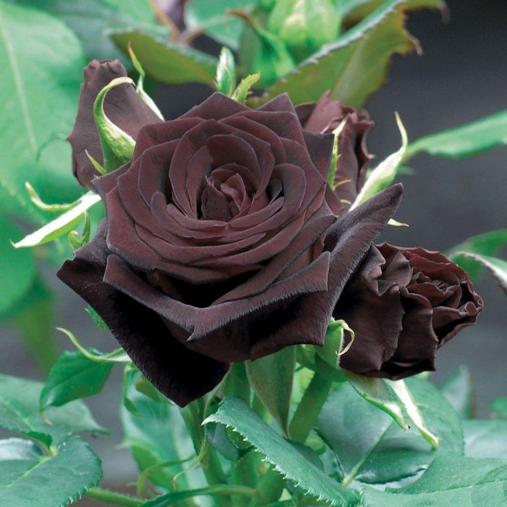 rosier 39 black baccara 39 meidebenne plantes et jardins. Black Bedroom Furniture Sets. Home Design Ideas