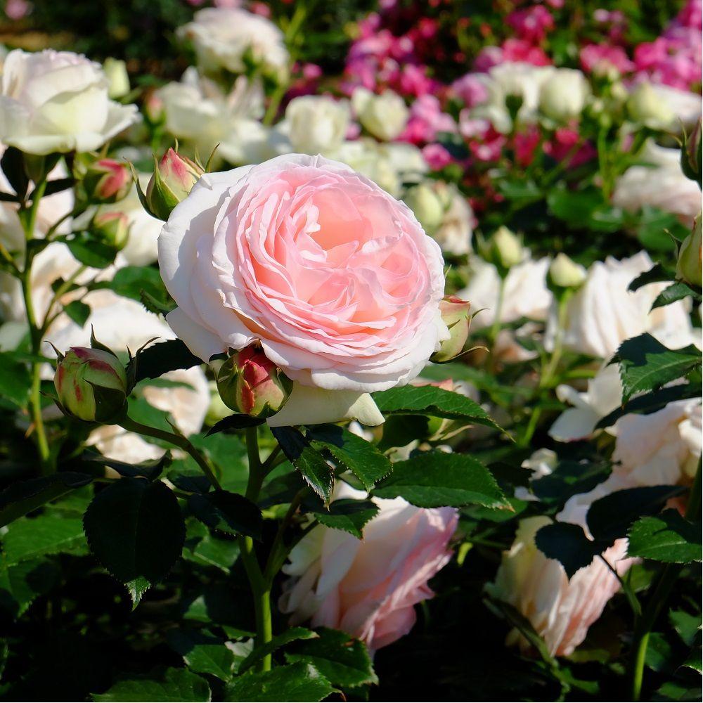 Rosier grimpant 39 pierre de ronsard 39 meiviolin rosier meilland plantes et jardins - Rosier en pot soleil ...