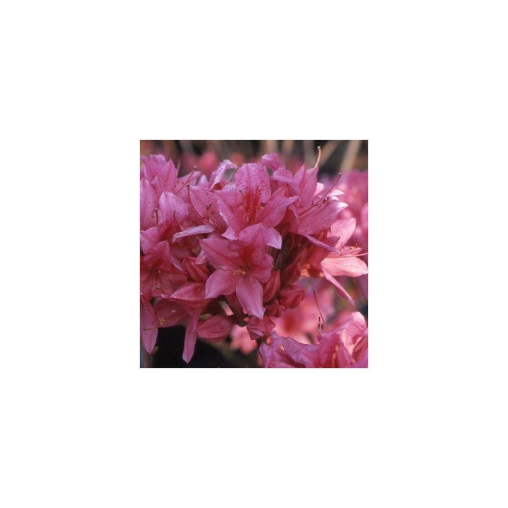 azal e de chine 39 rosy lights 39 plantes et jardins. Black Bedroom Furniture Sets. Home Design Ideas