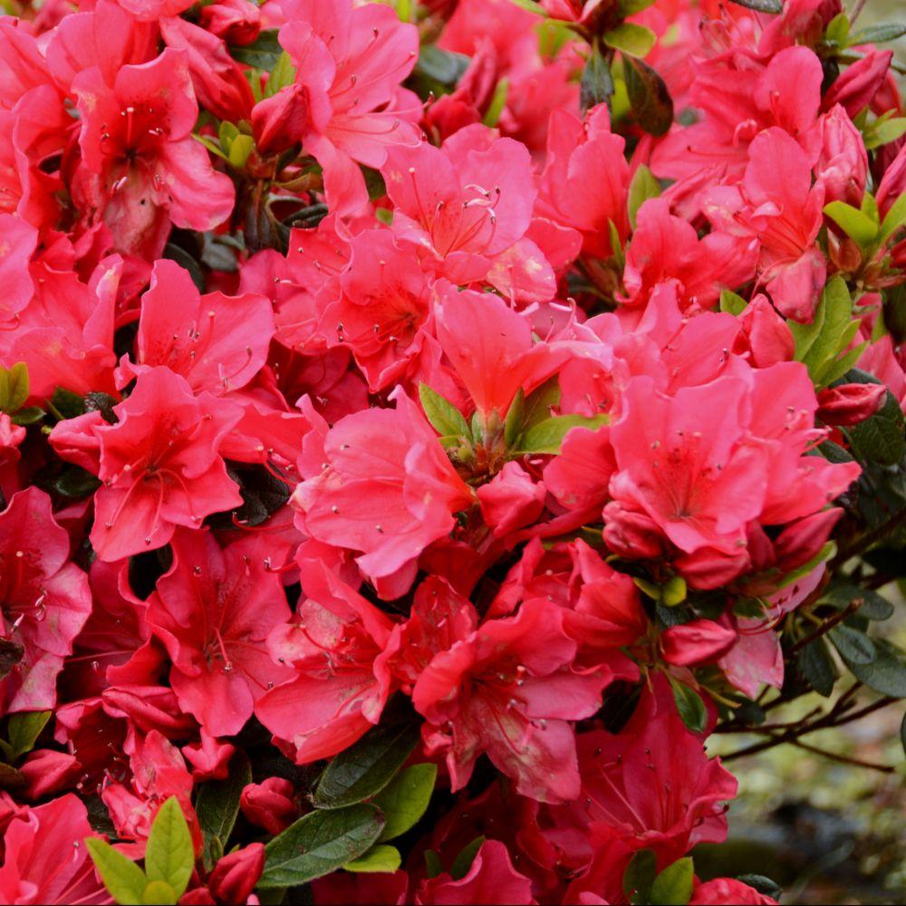 Plantes japonaises jpg azalee japonaise upeggy jardins for Plantes japonaises