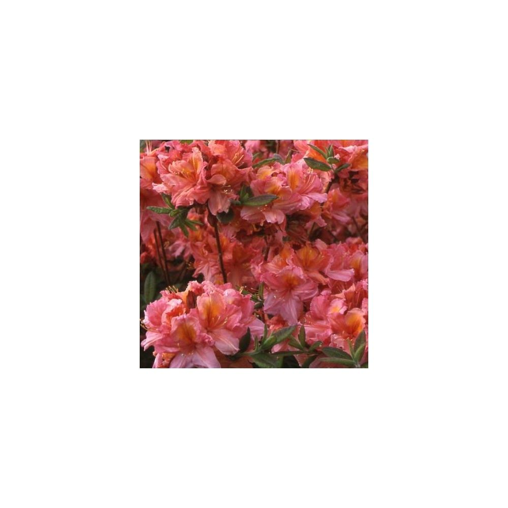 azal e de chine 39 berry rose 39 plantes et jardins. Black Bedroom Furniture Sets. Home Design Ideas