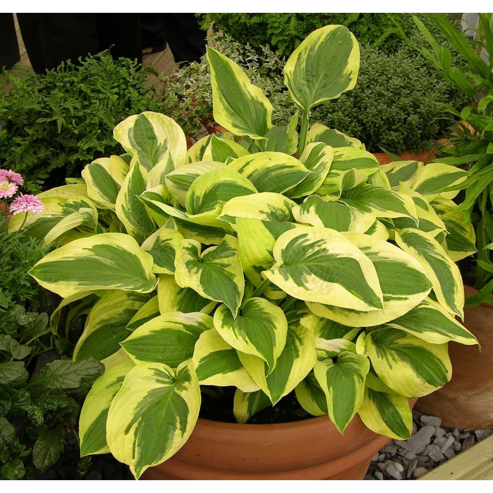 Hosta 39 wide brim 39 plantes et jardins for Plante et jardin catalogue