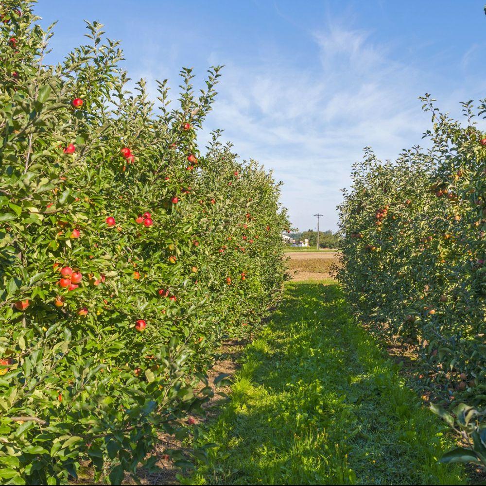 Kit de haie fruiti re classique compos e de 8 arbustes for Plantes et arbustes