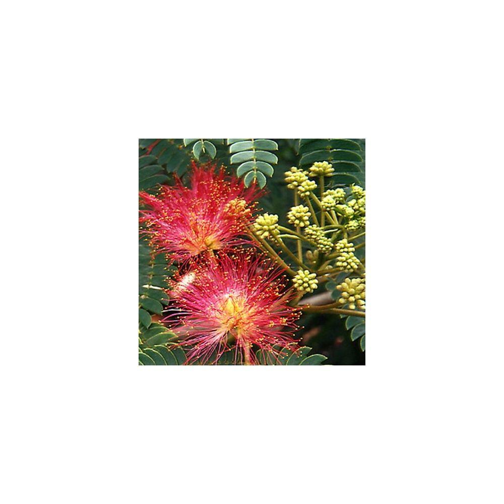 Arbre soie ou albizia 39 ombrella 39 plantes et jardins - Arbre ver a soie ...